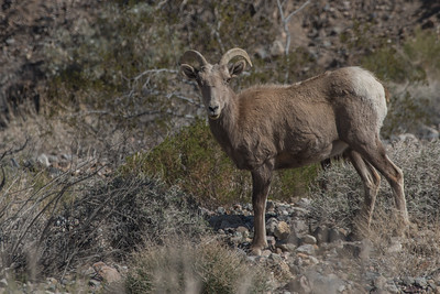 A desert bighorn sheep (Ovis canadensis nelsoni) from Death Valley National Park.