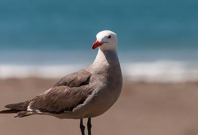 Heermann's Gull, Cambria CA