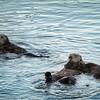 Otters and their pups at Morro Bay Marina