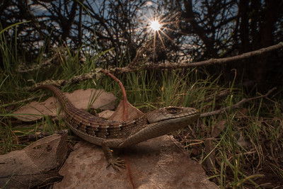 Southern Alligator lizard (Elgaria multicarinata) forages in the underbrush as the sun begins to set.  Its a generalist that will eat a wide variety of invertebrates, strong jaws can crush beetle or snail shells even.