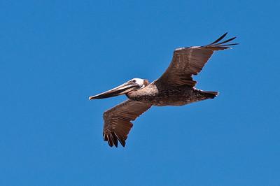 Brown Pelican, Cambria, CA
