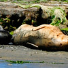 SUCKLING HARBOR SEAL