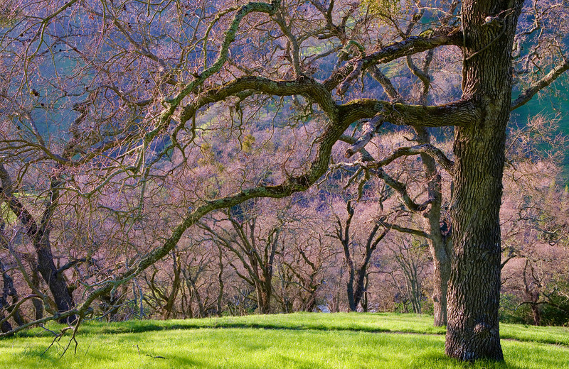 "Spring Oaks. 13""x20"""