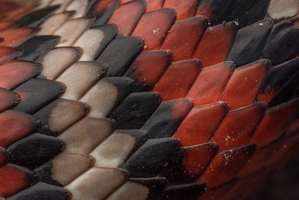 A macro of the scales and triad pattern of a California mountain kingsnake (Lampropeltis zonata) from the Santa Cruz mountains. Many snakes with this pattern are called coral snake mimics but these kingsnakes live many 100s of miles from the nearest species of coral snake.  The different colors may help break up the snake's shape when it moves.