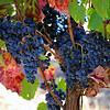 Wine On The Vine