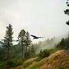 Daybreak Sierra Foothills With Turkey Vulture
