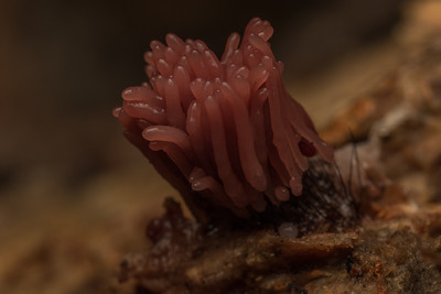 A tiny slime mold in the Stemonitis genus. These molds are collectively known as Chocolate tube slimes due to the brown color of many. Not a fungus, plant or animal this is actually considered a protist.