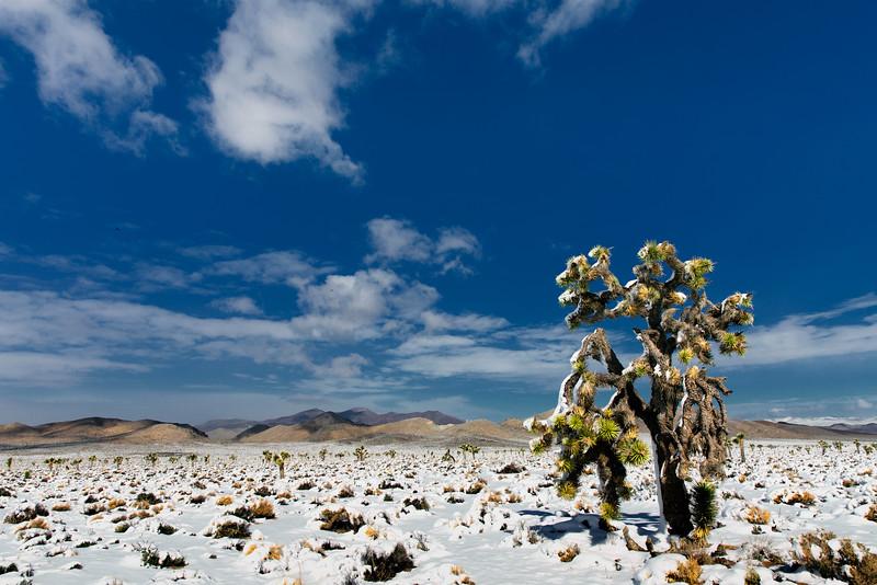 Snow and Joshua Tree, Darwin Hills, CA