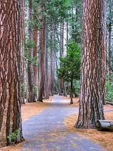 Ponderosa Pine (Pinus Ponderosa) pth in Yosemite National Park