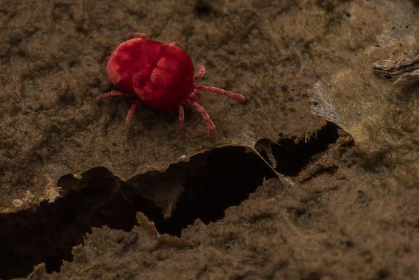 A red velvet mite (family Trombididiidae) moves across wet mud near a vernal pool.