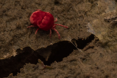 A red velvet mite (family Trombididiidae) moves across wet mud near a vernal pool.