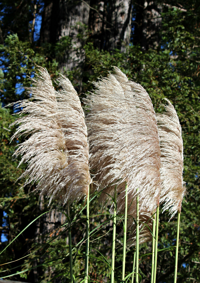 Kind Of A Pampas Grass