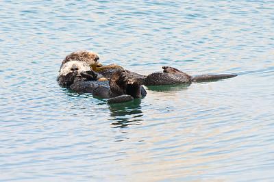 Sea Otters, Morro Bay