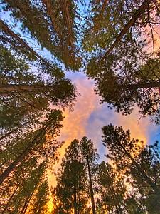 Redwood Trees in Santa Cruz, California