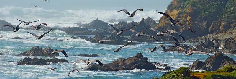 Pelicans In Flight Panorama