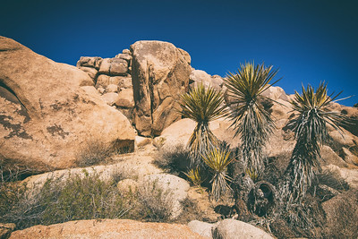 Summer in Joshua Tree National Park in the Colorado and Mojave deserts of southern California. The unique trees dot a desolate environment mixed with scrubby brush and scenic rock formations.  Photo by Kyle Spradley | © Kyle Spradley Photography | www.kspradleyphoto.com
