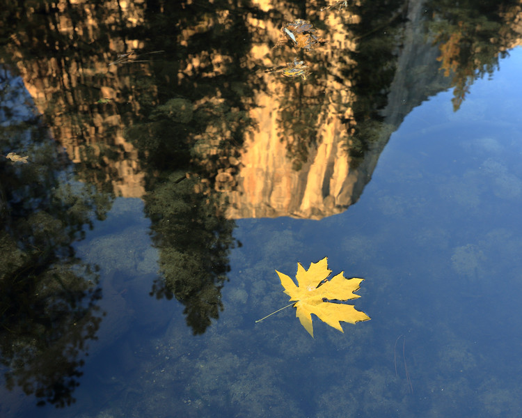 Bigleaf Maple Leaf and El Capitan Reflection, Mariposa County, CA