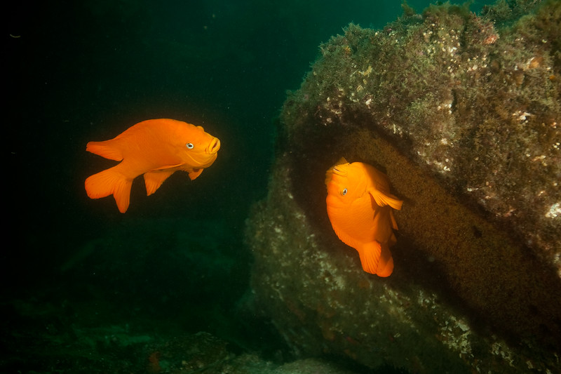 Two garibaldis mating. The female wiggles over the red algae nest, laying yellow eggs. The male charges any paparazzi who approach.