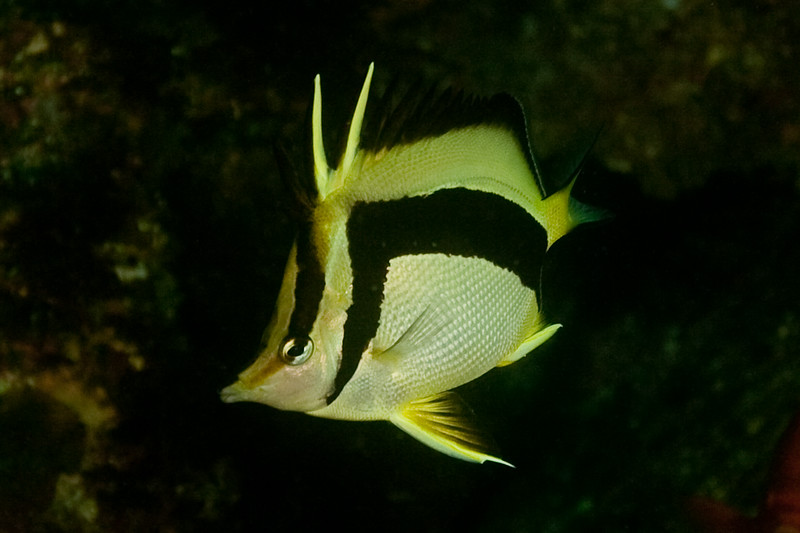 The very skittish Scythe Butterflyfish. This warm-water species moved up north during an warm El Nino year, and stayed!