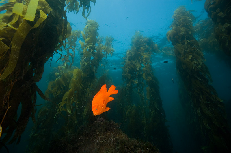 Garibaldi in the kelp forest