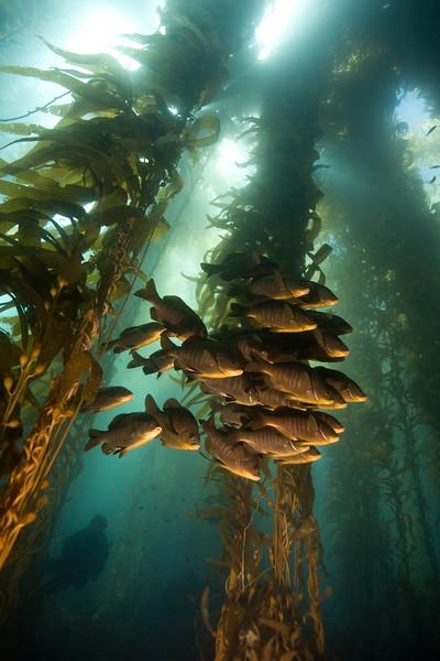 Black perch in kelp