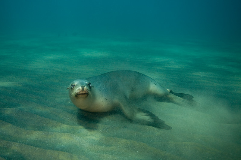 Mellow sea lion