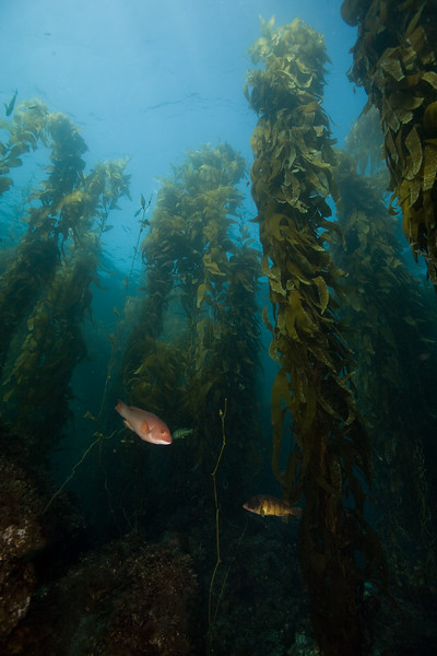 Female sheephead and treefish in the kelp forest
