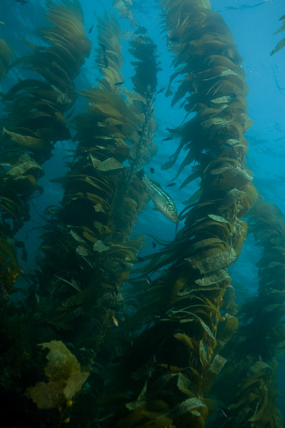 Giant kelp and calico bass, swaying in the surge.