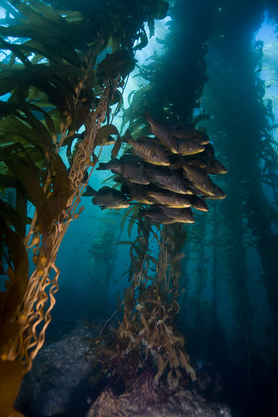 School of black perch in the kelp forest.