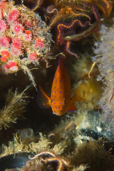 Juvenile garibaldi damselfish, hiding amidst brittle stars and corynactis californica anemones.