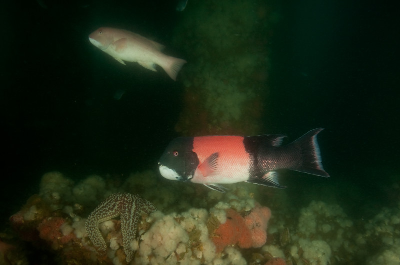 "A female (upper) and male (lower) sheephead. The males have a ""harem"" of females and when he is gone the largest female turns into a male and takes over."