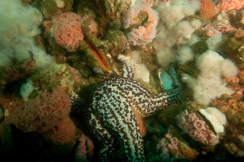 A sea star feeding.