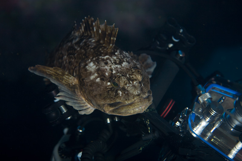 "A cabezon became fond of my dive buddy and sat on his camera rig for about 5 minutes. My buddy finally had to shake him off, and then retreat as the cabezon followed. The video is here:<br /> <br />  <a href=""http://www.thelaitys.com/uwvideos/20070903_WhyCantWeBeFriends_small.mov"">http://www.thelaitys.com/uwvideos/20070903_WhyCantWeBeFriends_small.mov</a>"