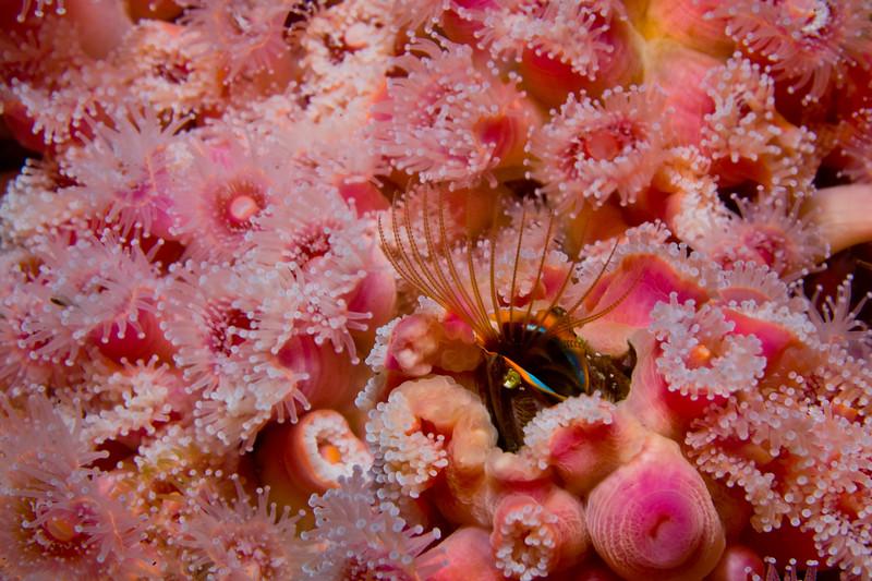 Acorn barnacle, feeding admist corynactis californica.