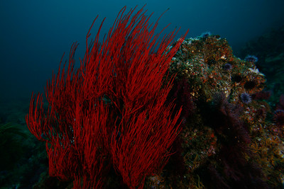 California red gorgonian, aflame underwater...