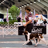 1 <br />  <br />  <br /> 30	 SHILOH'S REASON TO BELIEVE , SR61468203 3/5/2010. Breeder: Don and Peggy Echavarria. By DCH Redline's Smokin Gun -- CH Shiloh's Tru Believer JH. Pennie J Peterson and D and P Echararria . Bitch.