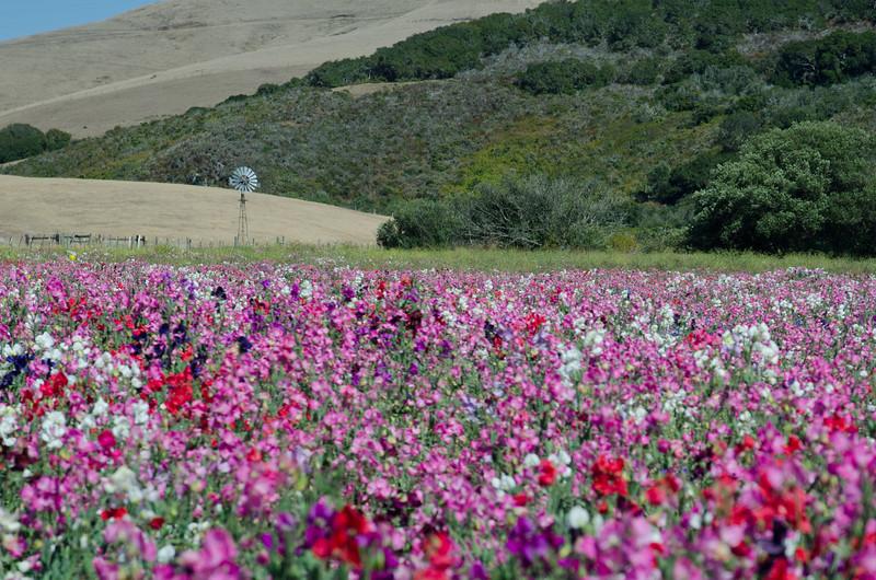 Windmill in California Wildflowers