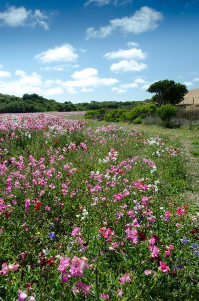 Wildflowers in Los Osos