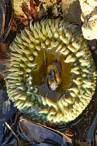 tide-pool-anemone-2