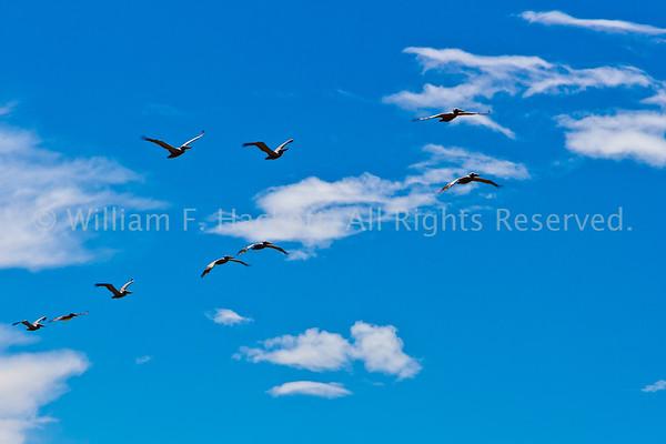 PelicansSunsetSB1763