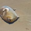 Elephant Seal1249