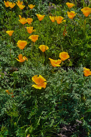California Poppies, Sunset State Beach0558