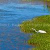 Snowy Egret, Limantour Beach2643