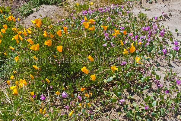 California Poppies, Sunset State Beach1775