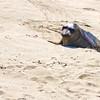 Elephant Seal Pup1268