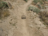 A desert tortoise along the Clara Burgess Trail.