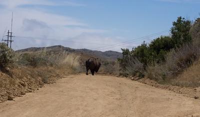 The first buffalo I ran into.