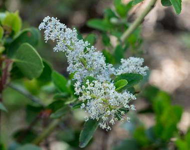 White Mountain Lilac