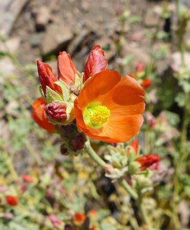 Wysup Peak - Mt. Love.  SBNF Hike - Pretty Flowers 6.22.14