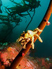 A smaller Decorator Crab clings onto a swaying kelp stalk.